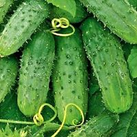 Seeds vegetable organic Cucumber Titus F1. Gherkin from Ukraine