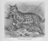 Serval Leptailurus serval Wildkatze Holzstich von 1891 Raubkatzen Katzen