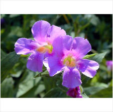 Purple Monkey Flower Mimulus Ringens 50-60 /approx/   Seeds Comb SH