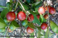 Strawberry Guava (Psidium littorale ) 20  Seeds