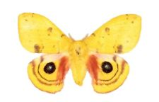 One Real Saturn Moth Yellow Automeris Io Male Usa Unmounted Wings Closed