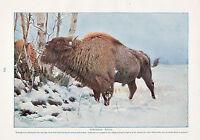 1910 Naturel History Double Faces Imprimé ~ Européenne Bison / Américain Bison