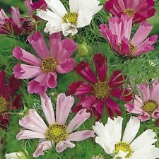 Flower Seed: Seashell Cosmos Seed. 50 Seeds Fresh Seed Free Shipping!