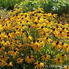 winterharter Gelber Sonnenhut (Rudbeckia fulgida 'Goldsturm') Nektarpflanze