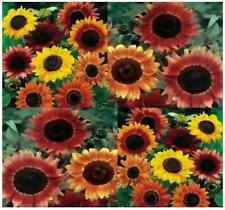 Helianthus annuus Autumn Beauty Sunflower 50 Seeds #Ornamental