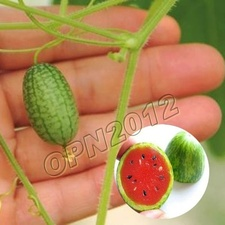 10x Red Pulp Pepquino Watermelon Seeds Garden Yard Nutritious Berry Fruit Plant