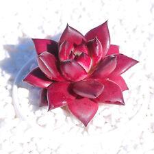 4CM Succulent Plant Crassulaceae Echeveria Agavoides Romeo Home Garden Outdoor
