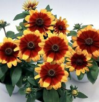 "Rudbeckia Seeds Rudbeckia Logro Two Tone 50 Flower Seeds ""Perennial"""