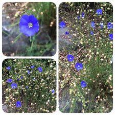 Blauer Lein Linum perenne Staudenlein Lein-Saat Steingartenpflanze