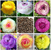 Ranunculus Double Buttercup 100 Pcs Seeds Flowers Garden Plants Free Shipping N