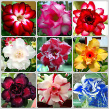 5Pcs Desert Rose Seeds Adenium Obesum Flower Bonsai Tree Plant Decor Garden New