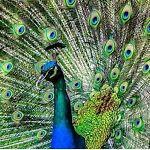The Stylish Peacock
