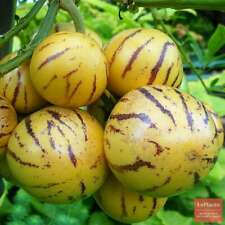 100 Pepino Melon Pear Tree Seeds Rare Plants Sweet Cucumber Bonsai Exotic Tasty