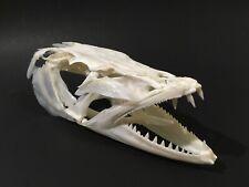 Real Huge Genuine fish skull Barracuda Taxidermy Skeleton Collection