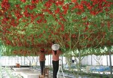 Vegatable seeds tomato tree high yield Survival Organic Heirloom Non-Gmo