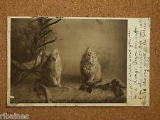 R&L Postcard: Pet Portrait of Two Cats/Kittens, 1903 Hull Postmark
