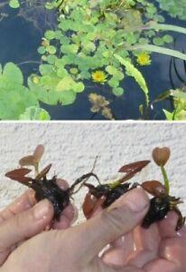 Bonsai Seerose gelb Schwimmpflanzen Pflanzen für den Gartenteich ! Teichpflanzen