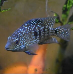 """Live Texas Cichlid *Rare 3"""" Aquarium Fish* (PLS READ DESCR)"""