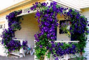 Clematis 100 Pcs Seeds Blue Outdoor Plant Natural Growth Bonsai Home Garden Rare