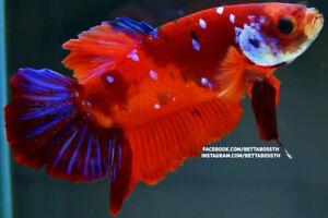 (SpecialOffer!) Premium GIANT Live Betta Fish l Male Nemo Plakat 6.1cm
