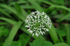 500 Graines Ail , Allium hookeri Thwaites, Allium tsoongii , Hooker chives seeds