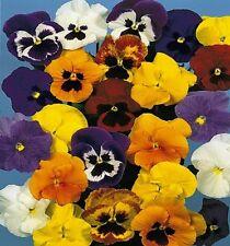 Stiefmütterchen Viola Mischung mit Auge Höhe 20 cm Samen