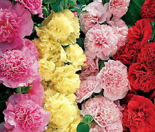 HOLLYHOCK CHATER'S DOUBLE MIXED COLORS Alcea Rosea - 150 Bulk Seeds