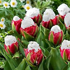 2pcs Yard Rare Tulip Bulbs Aroma Tulip Seeds Garden Home F6G8 For Viewing P O2I9
