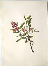 "Antique Hawaii Botanical Print: Hawaii Native Flower ""THE AALII"": London, 1885"