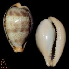 Cypraea Austrasiatica hungerfordi hungerfordi, China, Cypraeidae sea shell