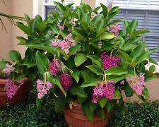 Medinilla Myriantha - Malaysian Orchid - LIVE Flowering Plant - Malaysian Grapes