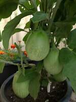 Hot Of Seeds Thai green round eggplant 770 seeds vegetable seeds.