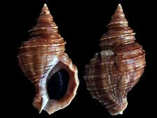 Neptunea lyrata - Shells from all over the World