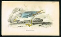 1843 Glaucous Gull Sea Bird, Hand-Colored Antique Ornithology Print - Lizars