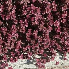 "30 rocaille groundcover FRESH Ritagli Sedum /""Angelina/"" Alpine"