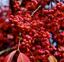 Euonymus europaeus 'Red Cascade' / gorgeous Spindle Tree, grown peat free 4ft+