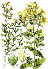 """ca. 2500+ Samen Hypericum perforatum - Echtes Johanniskraut  """"Topaz"""""""
