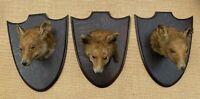 Taxidermia Conjunto de Tres Antigüedad Fox Cabezas Encendido Roble Escudos