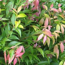 LITTLE PILLY Syzygium Dwarf Lilly Pilly native hedging plant in 140mm pot