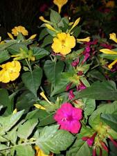 Belle de nuit-Mirabilis Jalapa-Marvel of Peru-25 graines-mix 2 couleurs