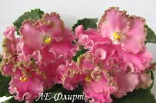 ☘ LE-FLIRT☘FLIRTATION☘ African Violet Plant Saintpaulia ☘ Starter Plug Ukrainian