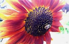 "40+VELVET QUEEN SUNFLOWER Kansas Seeds 7ft Tall Plant 8""Flowers Summer Blooms"