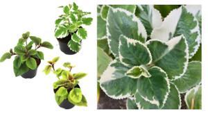 Plectranthus Weihrauchpflanze Lebende Pflanze Mottenkönig Beetpflanze im Topf