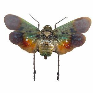 Green Orange Lantern Fly (Penthicodes farinosa peleng) Insect Specimen Indonesia
