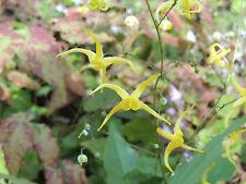 Epimedium membranaceum plant in 9cm. pot