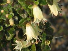 Correa reflexa var nummularifolia in 50mm forestry tube native plant