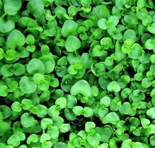 1000 Bulk CORSICAN MINT Mentha Requienii Herb Fragrant Ground Cover Flower Seeds