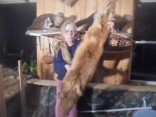 "45""#E Monster Adirondack Mt Fancy Cherry Red Fox Pelt/Taxidermy/Fur/Coyote /Fox"