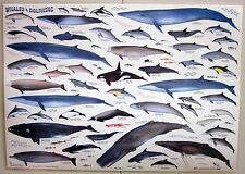 Whales and Dolphins Laminated Poster Chart