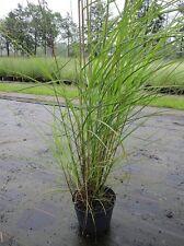 Miscanthus sinensis Graziella,  Feinhalm-Chinaschilf, Blüte silber-weiß